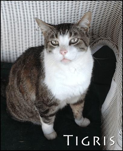 Tigris-the-cat