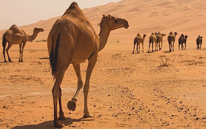 camels-1536x975
