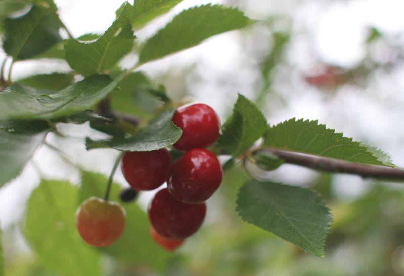 sourcherries