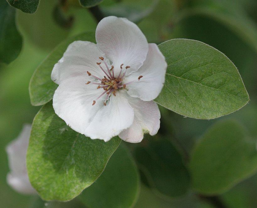 quinceflower