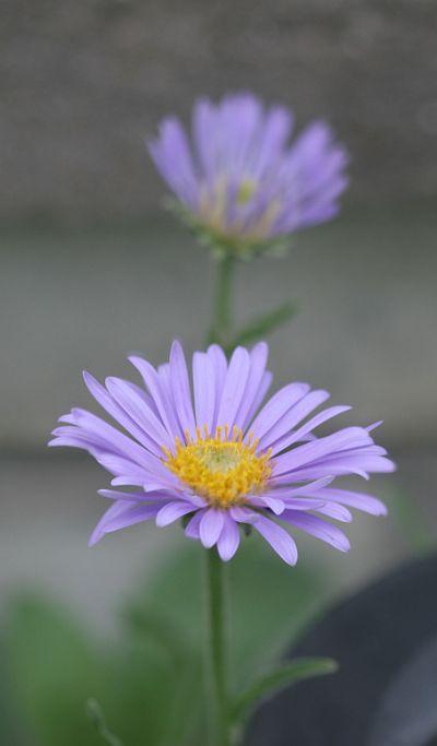purplefl2_sm